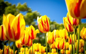 7012338-red-yellow-tulips